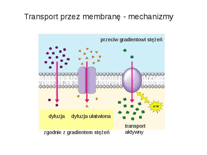 Rodzaje transportu Białka - Slajd 1