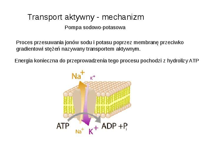 Rodzaje transportu Białka - Slajd 4