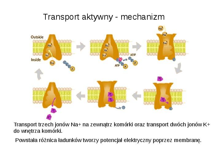 Rodzaje transportu Białka - Slajd 5