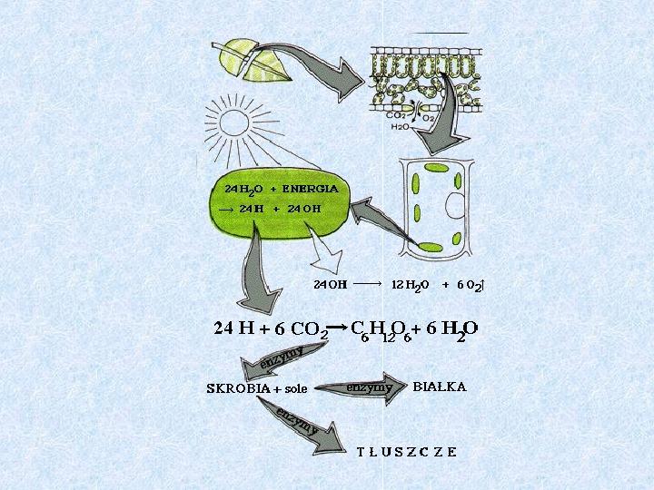 Fotosynteza jako przykład anabolizmu organizmów samożywnych - Slajd 4