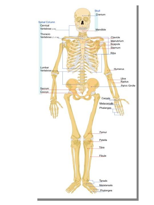 Osteologia - Slajd 1