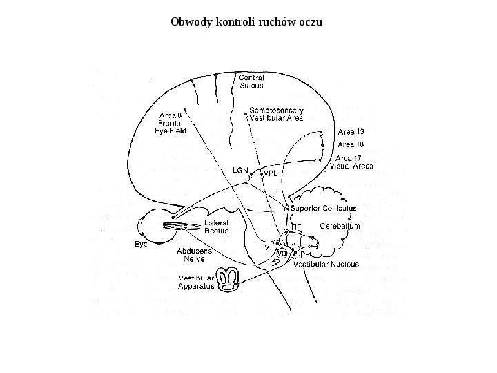 Układ przedsionkowy ucha - Slajd 4