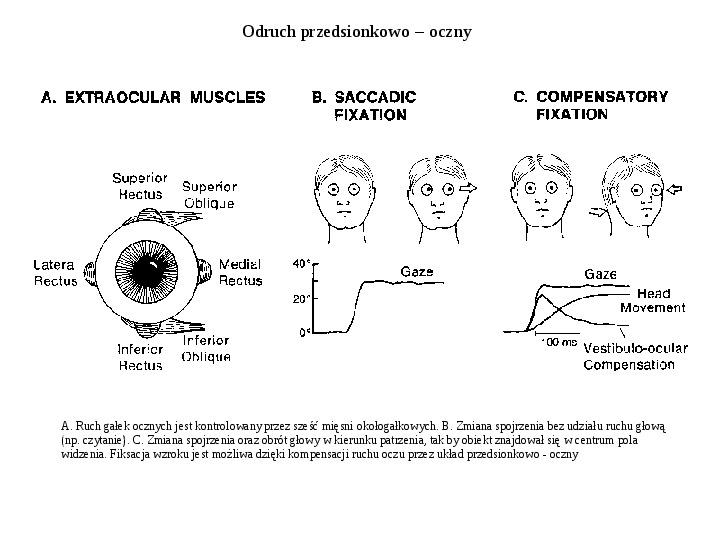 Układ przedsionkowy ucha - Slajd 6