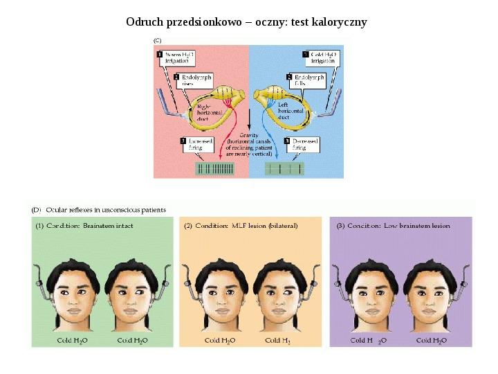 Układ przedsionkowy ucha - Slajd 8