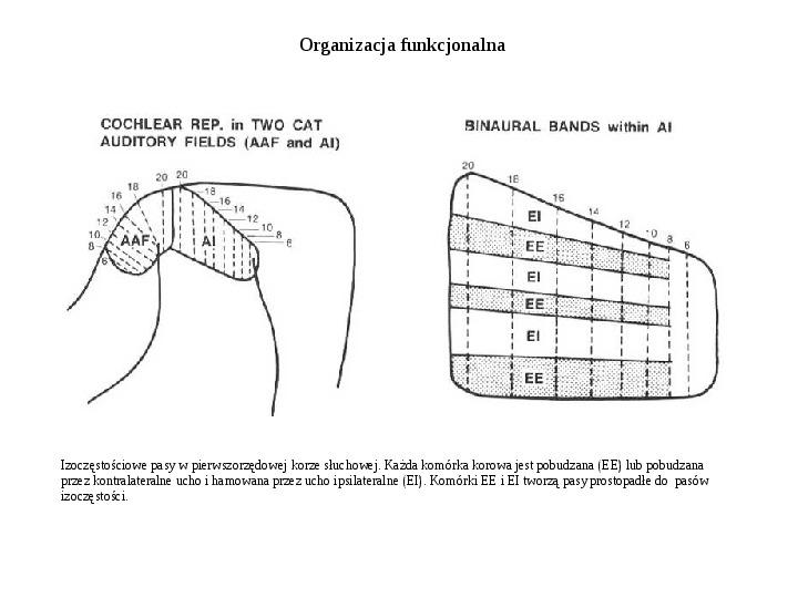 Układ przedsionkowy ucha - Slajd 49
