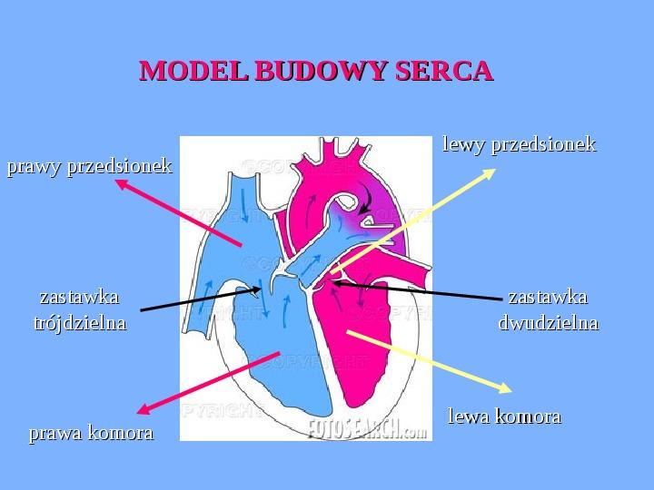 Budowa i rola serca - Slajd 3