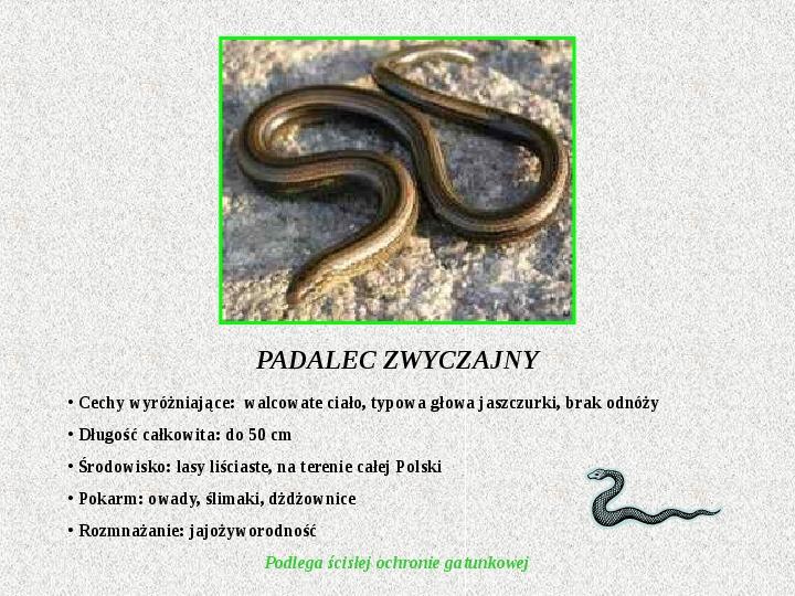 Gady Polski - Slajd 5