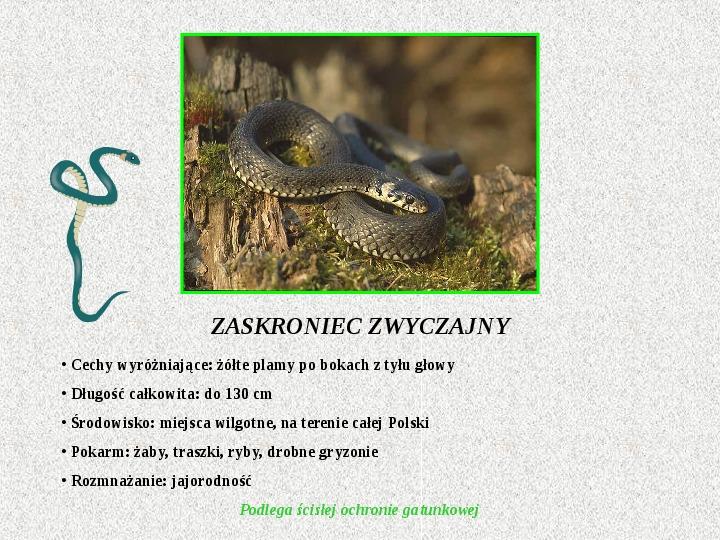 Gady Polski - Slajd 6