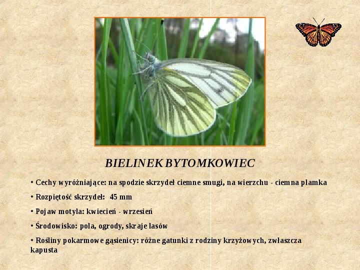 Motyle Polski - Slajd 5
