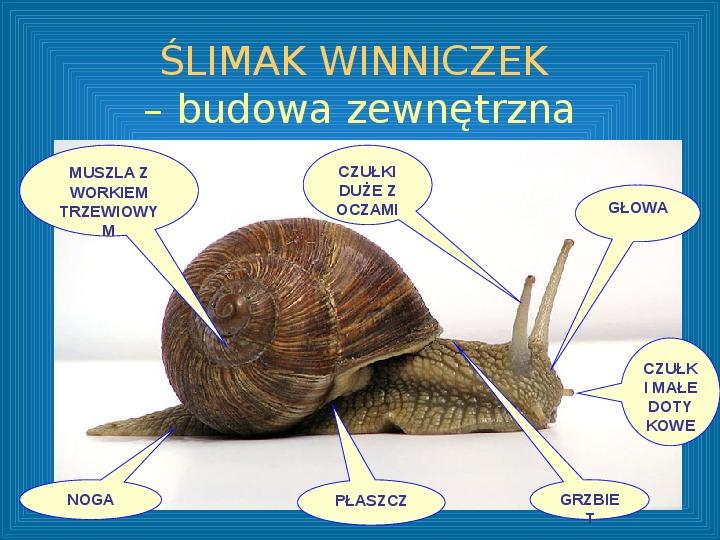 Poznajmy mięczaki - Świat ślimaków - Slajd 3