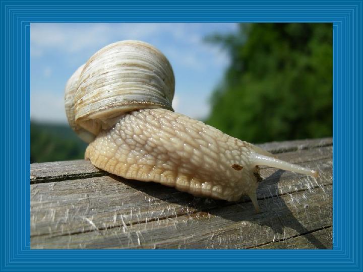 Poznajmy mięczaki - Świat ślimaków - Slajd 6
