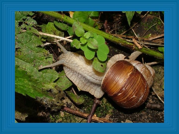 Poznajmy mięczaki - Świat ślimaków - Slajd 7