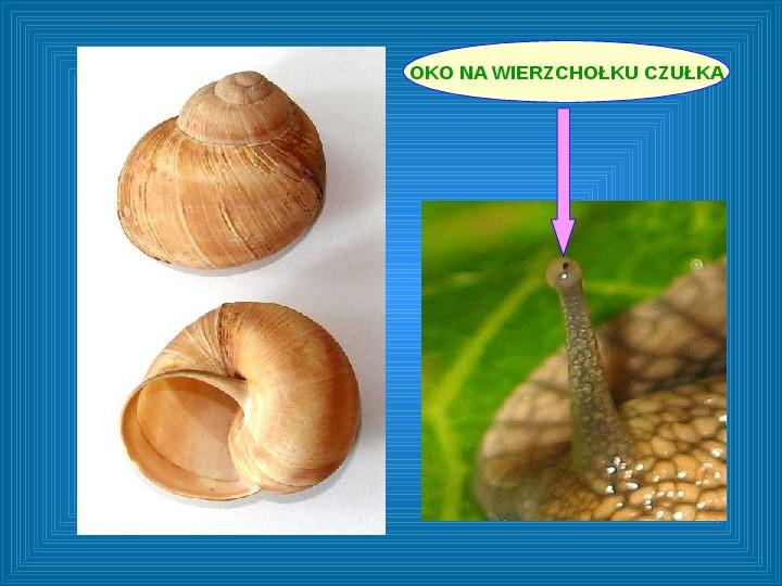 Poznajmy mięczaki - Świat ślimaków - Slajd 9