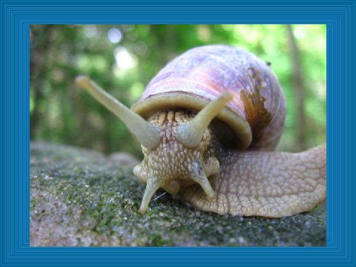 Poznajmy mięczaki - Świat ślimaków - Slajd 10