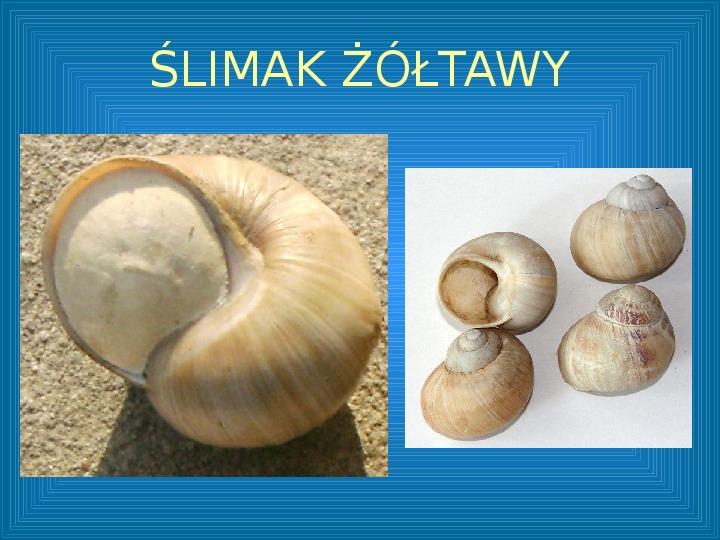 Poznajmy mięczaki - Świat ślimaków - Slajd 12