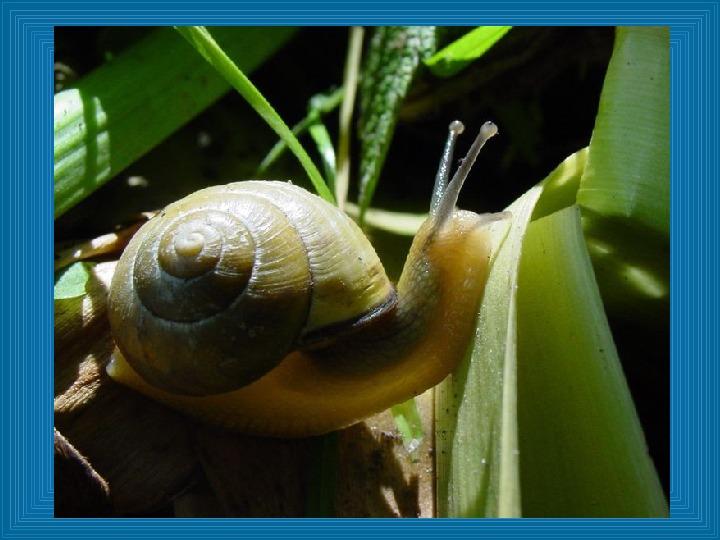 Poznajmy mięczaki - Świat ślimaków - Slajd 13