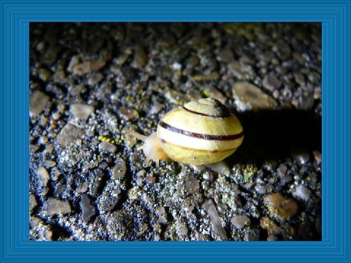 Poznajmy mięczaki - Świat ślimaków - Slajd 16