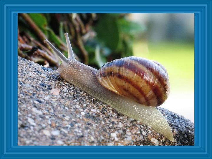 Poznajmy mięczaki - Świat ślimaków - Slajd 17
