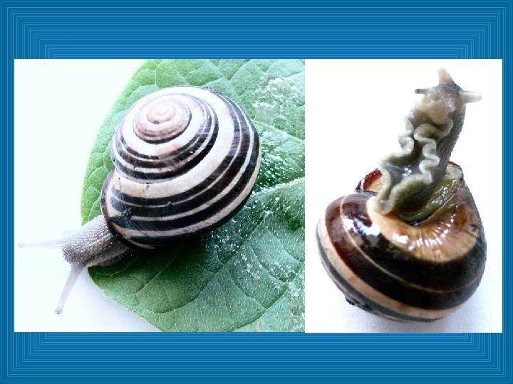 Poznajmy mięczaki - Świat ślimaków - Slajd 19