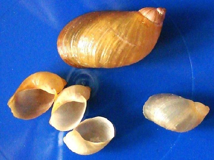 Poznajmy mięczaki - Świat ślimaków - Slajd 24