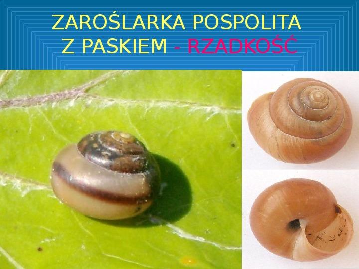 Poznajmy mięczaki - Świat ślimaków - Slajd 32