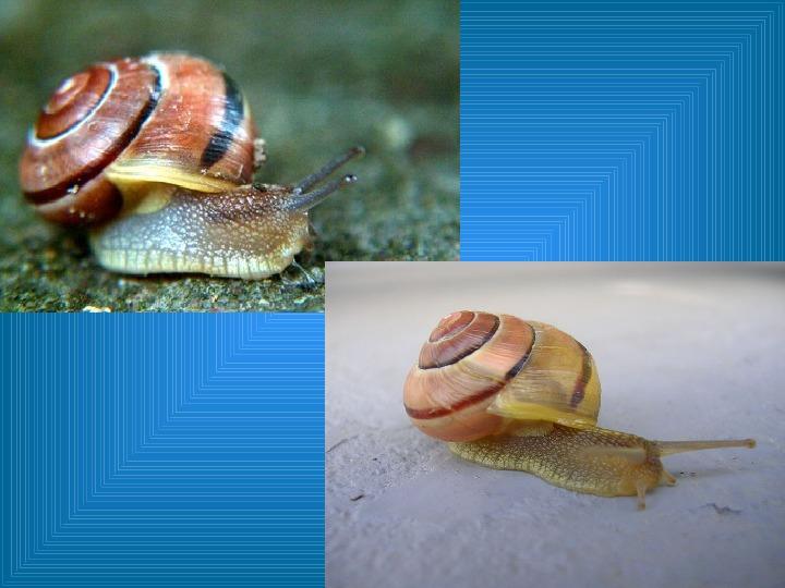 Poznajmy mięczaki - Świat ślimaków - Slajd 33