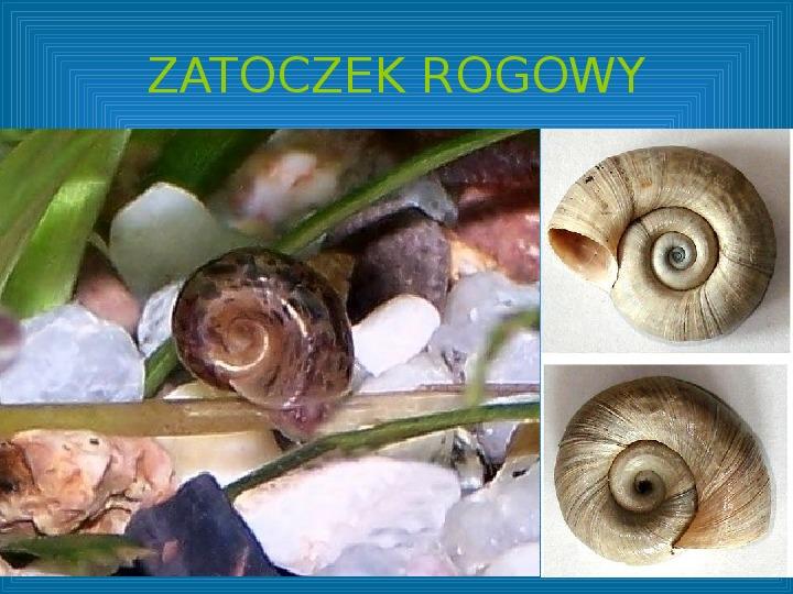 Poznajmy mięczaki - Świat ślimaków - Slajd 34