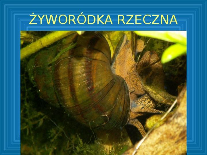 Poznajmy mięczaki - Świat ślimaków - Slajd 38