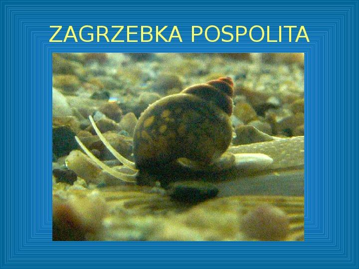 Poznajmy mięczaki - Świat ślimaków - Slajd 40