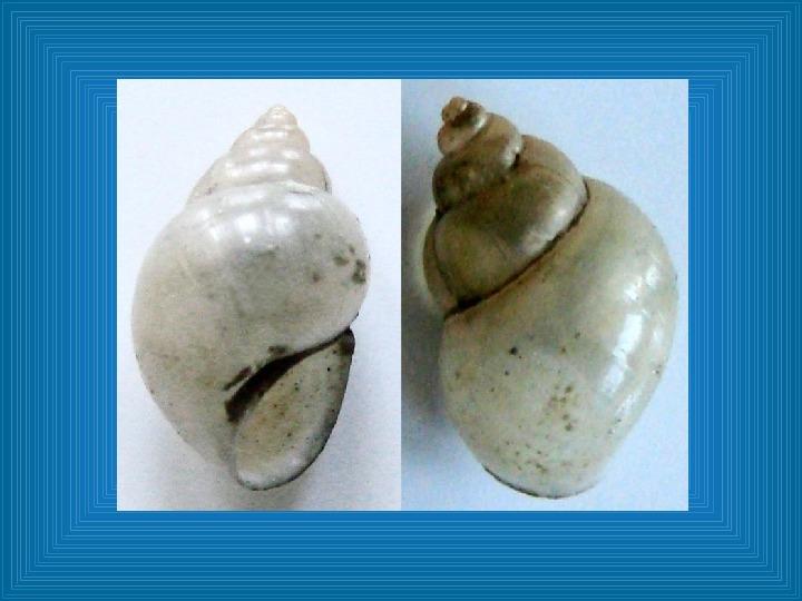 Poznajmy mięczaki - Świat ślimaków - Slajd 41