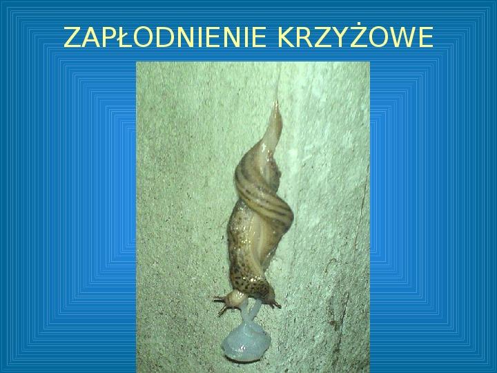 Poznajmy mięczaki - Świat ślimaków - Slajd 47