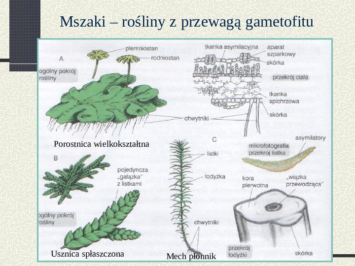Budowa i cykl rozwojowy mszaków - Slajd 3