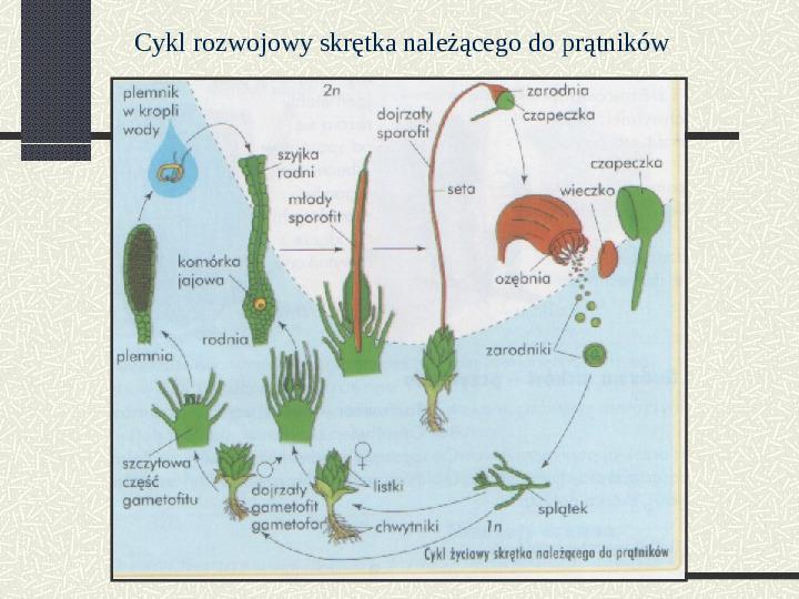 Budowa i cykl rozwojowy mszaków - Slajd 8