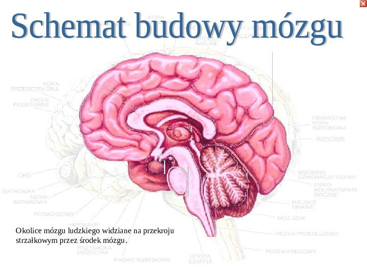 Mózg - Slajd 3