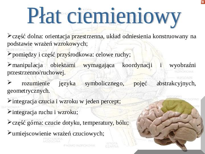Mózg - Slajd 4