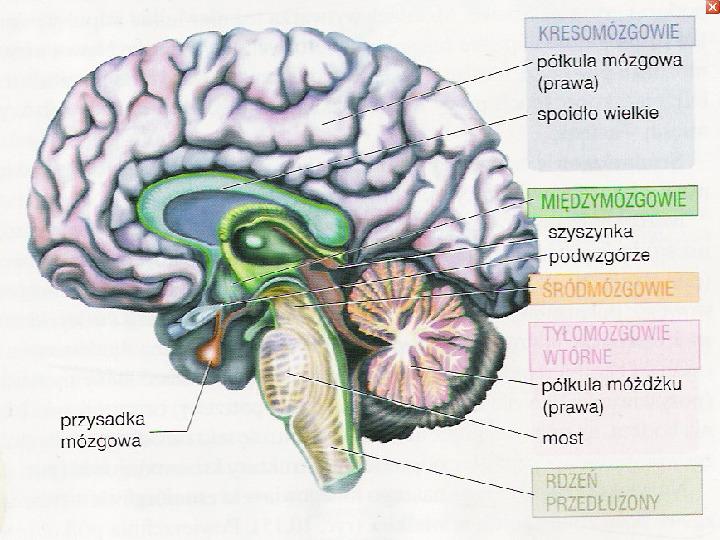 Mózg - Slajd 21
