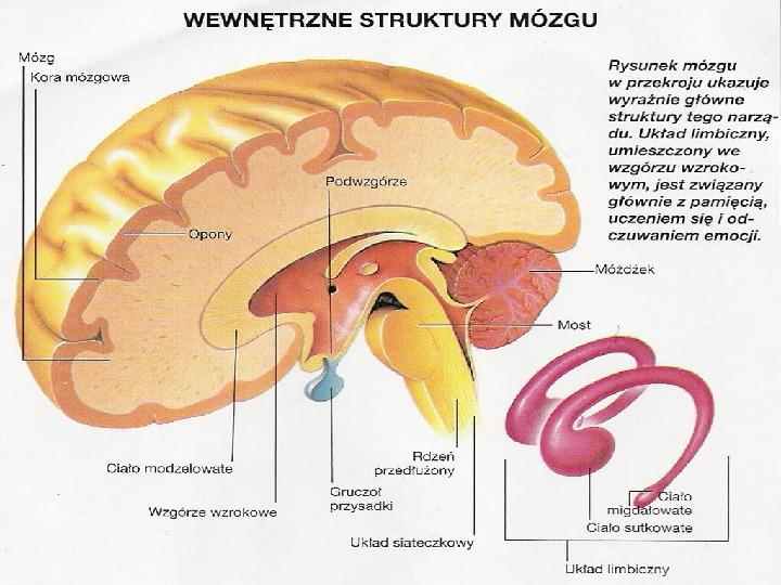 Mózg - Slajd 22