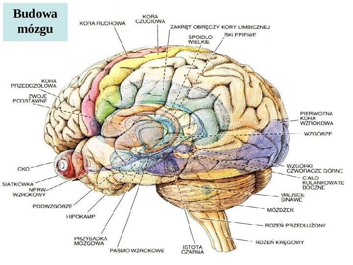 Mózg - Slajd 33