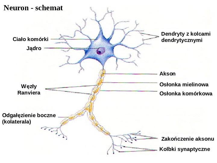 Mózg - Slajd 44