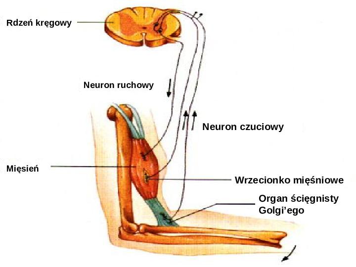 Mózg - Slajd 82