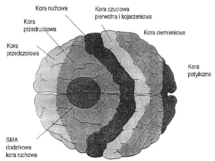 Mózg - Slajd 84