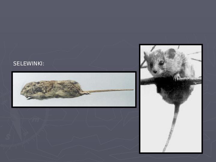 Państwa zwierzęce - palearktyka i nearktyka - Slajd 13