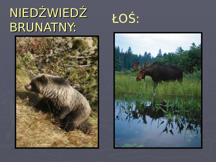 Państwa zwierzęce - palearktyka i nearktyka - Slajd 80