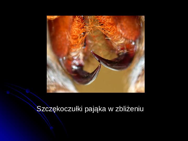 Pajęczaki - Slajd 31