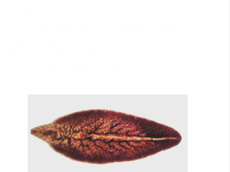 Płazińce (robaki paskie) - Slajd 13