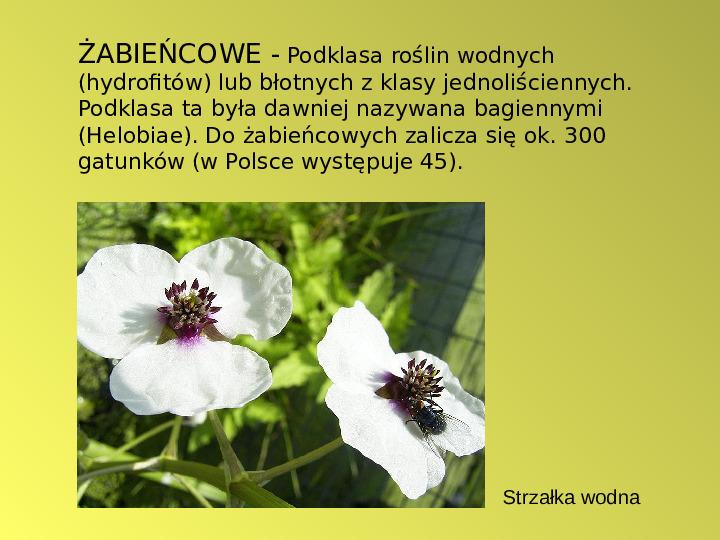 Rośliny okrytozalążkowe jednoliścienne - Slajd 6
