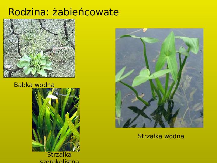 Rośliny okrytozalążkowe jednoliścienne - Slajd 7