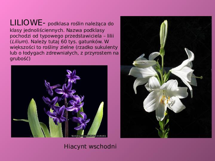 Rośliny okrytozalążkowe jednoliścienne - Slajd 8