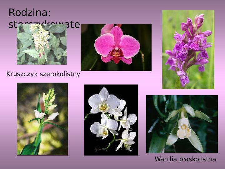 Rośliny okrytozalążkowe jednoliścienne - Slajd 12
