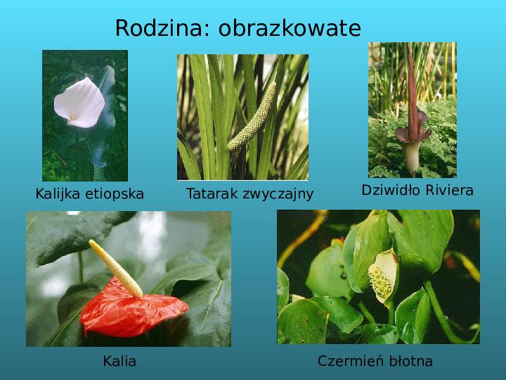 Rośliny okrytozalążkowe jednoliścienne - Slajd 14